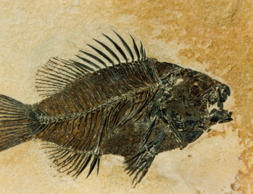 SKAPERGLEDE – Raske fossiler