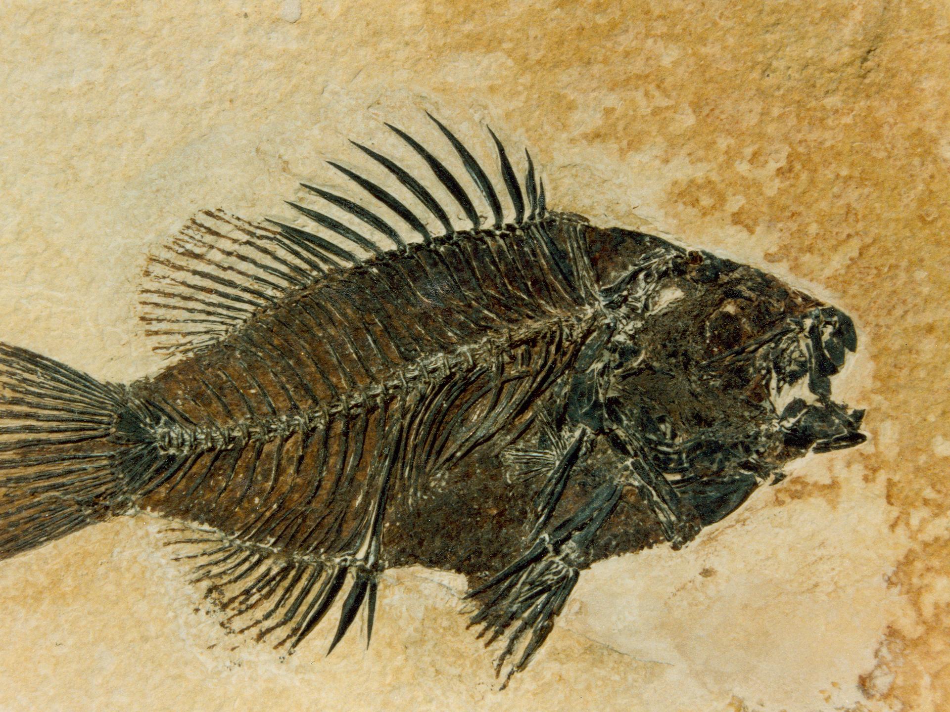 Raske fossiler